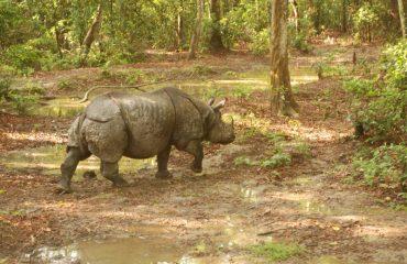 Baby-Rhinocerous